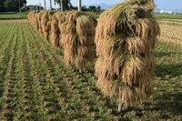 稲の乾燥方法ですが、写真の様な干し方を何と言うのでしょうか? 田んぼの土に木の杭を打ち込み、刈り取った稲をうまく杭に乗せて 乾かす天日乾燥だと思います。通常の機械乾燥より、ご飯が美味し くなると聞きました。ご存知の方がおりましたら教えて下さい。