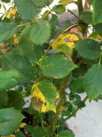 バラの葉が枯れます。 肥料やけでしょうか? 写真の薔薇はジュビリーセレブレーションの鉢植えです。 先月から無農薬栽培に切り替え、 ニームオイル、キトサン、木酢液などを葉に散布していました。 根腐れなどは無いと思います。 他に月桃エキス、えひめA1も散布しました。 えひめA1は青カビが出たので今後散布しない予定です。←他の植物で。 よろしくお願いします。