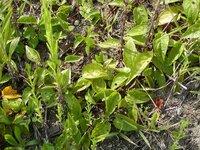 このツル性の植物の名前を教えてください。福岡、5月