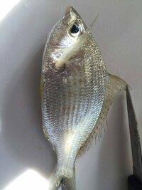 釣り初心者です。 こんな魚が釣れました。 この魚は何ですか? 食べることできますか?