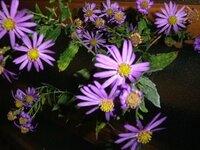 この花はどれでしょうか?  ・ヨメナ ・ノコンギク ・ミヤコワスレ ・これら以外
