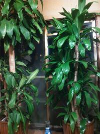 観葉植物、広葉ドラセナとドラセナマッサンギアナです。 真冬でも、最低室温は15℃位です。水やり、週に3~4 回でも良いですか。