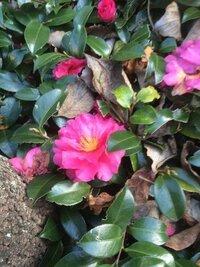 これは寒椿ですか?花芯が広がり、花びらが一枚一枚落ちる、小型ど花びらの多いのが、寒椿とききました。