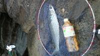 今日ボラを釣りました、美味しい食べ方はなんでしょうか?
