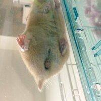 ハムスターの生殖器について  こんにちは、生まれて3か月になるキンクマハムスター(オス)を飼うものです。  今日ハムスターを見ていたら、生殖器のところがいつもより腫れている?ように 見えてとても焦っ...