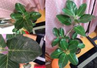 観葉植物のベンガレンシスと思われるものを育てているのですが 最近葉が元気が無くなり、また、病気?のようなものになってきました 原因としては… ①水を葉にあげたことが原因なのか? ②葉に最近までホコリが...