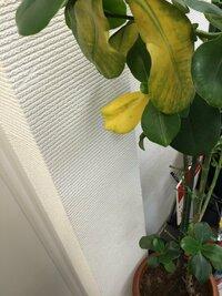 ゴムの木? の葉が黄色い状態は病気でしょうか。   ゴムの木(だと認識してる)の葉が一部黄色くなってしまいましたが病気でしょうか。 最初は枯れたのかと思いましたが枝にしっかりとくっつ いていました。  何か対応策ありましたら、ご教授ください。