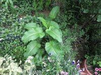 庭の雑草について教えてください。写真の大きな葉の植物の名前を教えてください。 奈良県の市街地、現在の状態です。よろしくお願い致します。