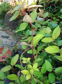 この植物の名前を教えてください。写真が見辛いかと思いますが、手前の赤い茎の植物です。