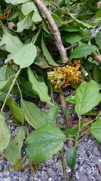 梅の木の枝に先日何か黄色いものが付いていて驚きました。 調べてみると、梅変葉病というそうです。 ネットで調べても、梅変葉病は少ないのか、 なぜ梅変葉病になってしまうのかなど、原因な どがでてきません。  梅は切らないといけないけど、あまりしっかり剪定していなかったのが原因なのか、 薪になるいろんな葉っぱや木を同じ敷地内に集めたのが原因なのか、 とにかく変葉病の葉っぱが気持ち悪すぎ...