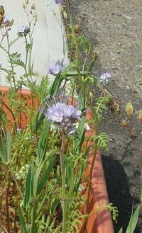 プランターの背丈30cmほどの薄紫色の花を咲かせたこれの名前をおしえてください。
