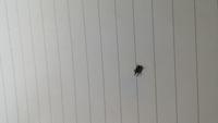 これは何という虫か分かる人いますか? 家中にいます 退治方法も教えて下さると助かります