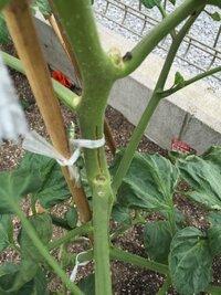 ミニトマトの茎が画像みたいになりました。茎が割れてる感じです。 肥料やりすぎでしょうか?元肥以外はやってないのですが・・・ あと、実の茎の先から葉っぱもにょきにょきはえてます