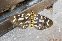 昨日撮影した蛾の名前を教えて下さい。ヒロオビトンボエダシャクのような気がしますが、自信が持てません。