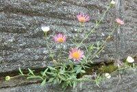 この植物の名前を教えてください。  毎年5月上旬~6月(中旬ごろ?)くらいに見られる花です。草丈はおよそ10~20cm程度、なぜかどの株も白と桃の2色の花がセットになって咲いています。