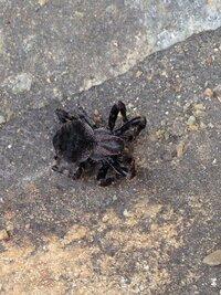 先日このような蜘蛛が家にいて殺虫剤で 退治したのですが、この蜘蛛の種類って 何かわかる人いますか?