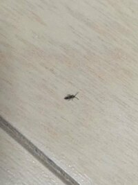 最近夜になると部屋の床に小さな虫がたくさん出てきます。 見つけるたびにティッシュで捨てるんですが、捕まえても捕まえても出てくるのでゴミ箱がティッシュだらけで参ってます。 サイズは5ミリないくらいで、触...