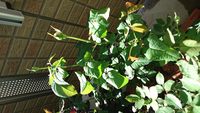 シャリファ・アスマの葉が水切れでもないのに丸くなります。 薬害かなにかですか?