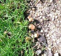 【画像あり】庭にキノコ、どうしたらよいですか?  写真のようなキノコが庭の植木付近に生えています。 最近になって生えはじめました。 小さな茶色のキノコです。 なめたけみたいな大きさ です。  今のと...