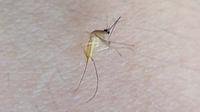 【画像あり】黄色い蚊っているんでしょうか?  先日↓の写真のような虫を撮影しました。 これ、形は間違いなく蚊ですよね? でも身体は黄色です。ネットでも「黄色い蚊」で調べたのですが ヒットしません。そこで気になって質問させて頂いたのですが、この虫は一体何なのでしょうか???