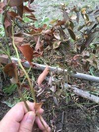 ブルーベリーが急に枯れてきました。枯れた理由と対処方法について教えて頂けましたら幸いです。 枯れそうなのがサザンハイブッシュ系のピロシキーです。 完全に枯れているわけではなく、葉を握って崩れてしまうのは一部です。少し剪定してみると、茎の中心は緑色でした。 今年の春苗をもらい、露地植えしました。 土はホームセンターで買った『ブルーベリーの土』14ℓです。 30センチ間隔で、B・ダッブリン、B・...