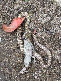 蛇に詳しい方、お願いします。 これはマムシですか? 子供達が多い公園で見つけました(汗) マムシなら通報して駆除してもらった方がいいですよね?