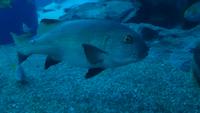 水族館で撮った生き物の写真を整理しているのですが、一匹名前の分からない魚がいます。 もし詳しい方がいらっしゃればご教授頂けないでしょうか?