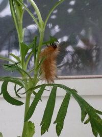 マツムシソウの葉にいた毛虫の名前教えてください 今朝、庭に出てみたらマツムシソウの葉にこんな毛虫がいました!捕獲しようとしたら下の花壇に落ちてしまい、もう見つかりません。 大きさは5センチくらい、終...