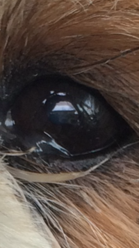 犬の白内障について?  我が家のシーズも今年で12年目に 入りました。 目の白内障が大きくなってきました。(通院中) 皆さんのワンちゃんはどうですか。 何かいいお話し聞かせて下さい。