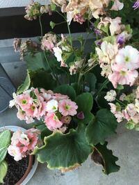 お花の手入れの仕方が分からなくて困っています。 このお花の名前も分かりません。  頂き物なのですが、お手入れの仕方が分からなく、名前も分からないので、お花に元気がなくなってきて困っています。  どんどん伸びて、咲いた花の先から又新しい花が咲いていたのですが、最近は咲かなくなってきました。  余り大きく伸びずに、綺麗に咲かせてあげるお手入れの仕方があれば教えて頂きたいです。  お願いします。