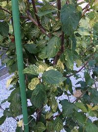 シュガープルーンの木です。これは病気でしょうか? 新芽がで出した後から葉の色が抜けたようになっています。花が咲き実がなりましたが5mmぐらいで黒くなり全て落ちました。