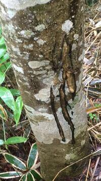 これってクマの爪痕ですか?栃木県の八方ヶ原で撮りました。