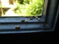 これは蟻の卵でしょうか? 今朝こんなものを↓台所の窓の桟に見つけてしまいました。 この窓のちょうど下の辺りに流しと水道があり、夏になると小さい蟻がたくさんこの辺りをうろうろしだすので、蟻が目立ちだし...