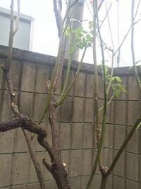 バラ、10年目です。全く剪定していないため、悲惨な状況です。古い枝は木質化してしまい、今年は新しい枝は楊枝ほどのが短く出ただけです。芽はたくさんありましたが。春に枯れ枝がすごかったので切りましたがほ...