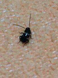 ゴキブリ どこから 小さい 小さい ゴキブリ