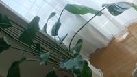 ストレチアオーガスタを5月に購入して3ヶ月経ちました。 新芽が2枚開きましたが、その後新しく葉が開いた茎からしなだれてきてしまいました。 しなだれてしまった茎はなおりますでしょうか。 。 風を当てたらしなだれたようにも感じます。 またピンと元気になりますでしょうか。