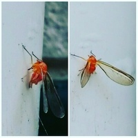 この赤い虫はなんという虫ですか? 一匹だけ排水の管にとまってました。 赤くて長い羽が2枚生えていて、大きさはハエくらい小さいです。羽はトンボのような羽でした。写真撮って拡大したら目 が大きくてセミみたいで気持ち悪いです。孵化する前のようにも見えますが羽が生えてるので成虫でしょうか。。 この付近でトマトやきゅうりなどの野菜を育てています。 名前がわかる方いらしたらお願いします。