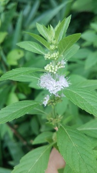 この花はニホンハッカでしょうか? 貰って来た時には、ハッカの香りがした気がしますが、今、嗅いでも、余り香りません。 種類が違うのか?育て方が悪いのか?教えて下さい。