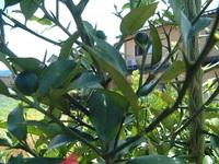 みかんの品種名を教えて下さい。 わたしの敷地内に自生のみかんの木があります。 これまで実をつけたことがなかったのですが、今年は実をつけています。 サイズは1.5cm程度で楕円形です。 こんなみかんは、見...