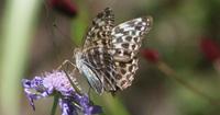 このチョウは何という種類のチョウですか?  図鑑を見ても、写真のように青みがかったものは分かりませんでした。
