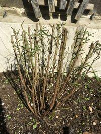 このローズマリーは復活しますか? 3週間ほど前に地植えされていたローズマリーの株をかなり刈り込んだ状態でわけてもらい、自宅の花壇に植え替えました。自宅はイギリスで、日中は日当たりが良すぎる位で夜は10°...