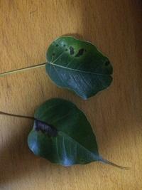 インドボダイジュの葉にこんな黒点が付きました。 これはどんな病気でしょうか。 どんな薬が効果的でしょうか。 アドバイスを頂ければ幸いです。
