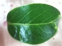 この葉脈から何の樹木か分かりますか?