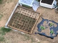 玉ねぎ苗の植え付けに付いて。 育苗店の店主が、玉ねぎは10センチ間隔で!って、言っていたので。 写真の様な感じで、植え付けてみました。 寒くなったら、切り藁を敷きます! 大丈夫ですか ね! 教えて下さい