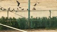 質問ですカラスの大群が1匹をいじめてました多分1体VS200ぐらいで、カラス同士で虐めるのは知ってますが色が茶色っぽいです、カラスはほかの種類の鳥も虐めるんですか?