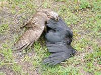 宝くじ一等当たったら、鷹がカラスを 襲うように、強く生きれますか?