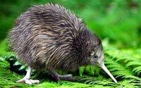 鳥インフルエンザはなぜ南半球に拡大しないのですか?写真:ニュージーランドのキーウィ鳥