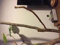 ウンベラータの枯れた枝の剪定方法を教えてください。  ウンベラータの枯れた枝を剪定しようと思っています。 室内用ですが、大きいウンベラータで、剪定したい枝は30センチほど、太さは直径 2センチほどの枝...