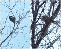 違う種類の鳥同士の交信  画像の二種類(恐らく)の鳥 シジュウカラとムクドリだと思います(たぶん) この二種類の鳥が近いところに居り 交互に鳴き合っているように見えました。 そこで素朴な疑問なのです...