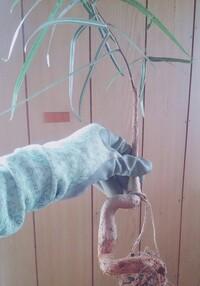 このボトルツリー(ブラキキトン)の品種はなんでしょうか?  あと植え替えの際 籾殻くん炭の入った土を使ったのですが、大丈夫ですか?  よろしくお願いします^^